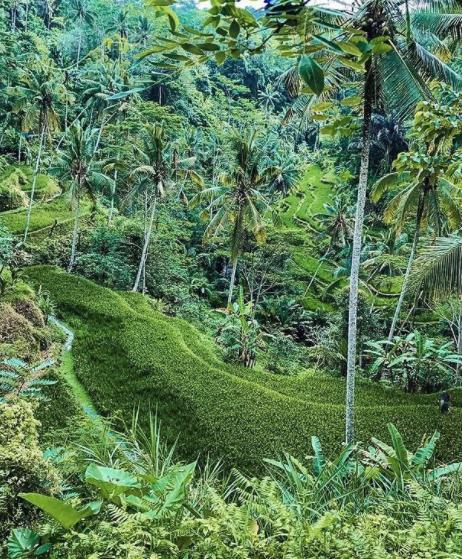 Lush green rice fields of Ubud jungle Bali